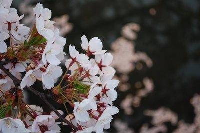 弘前公園早朝の桜2.jpg
