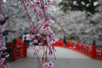 弘前公園早朝の桜3.jpg