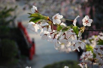 弘前公園早朝の桜5.jpg