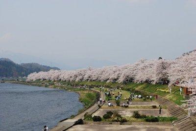 角館の桜1.jpg